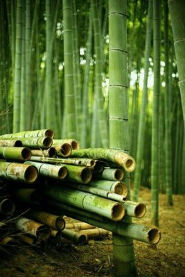 Harvest bamboo properly