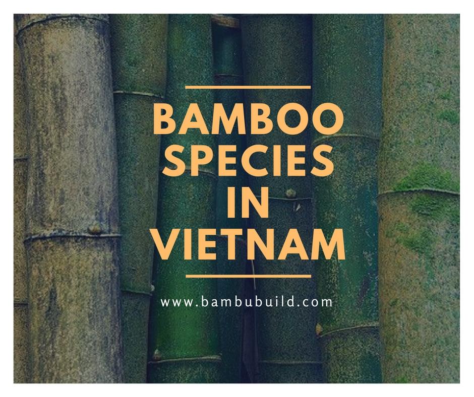 bamboo species in Viet Nam